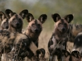 Gorongosa_Wild_Dogs_2018-768x512