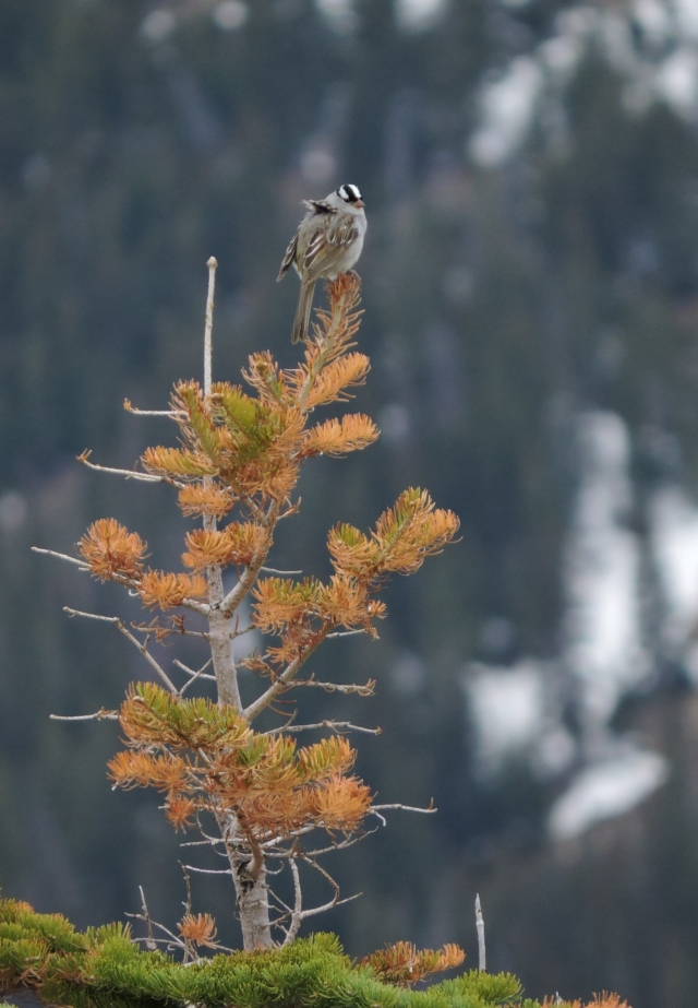white-crowned sparrow_opt